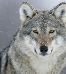 Η Νορβηγία αφήνει τα 2/3 των λύκων της στην τύχη τους