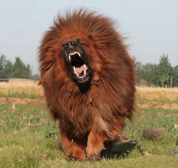 Θιβετιανό Μαστίφ, το ακριβότερο και δυνατότερο σκυλί στον ...